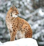 L'hiver de lynx Photos libres de droits