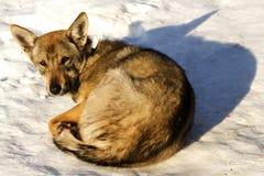 L'hiver de neige de crabot d'animal familier photographie stock libre de droits