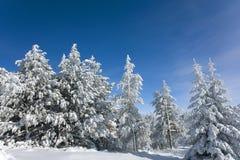 l'hiver de pins Image libre de droits