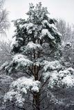 l'hiver de sapin Images stock