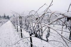 l'hiver de vigne de pinot de noir photos stock
