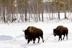 L'hiver est bison Images libres de droits