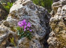 L'hiver fleurit, des cyclamates fleurissent dans la fin sous la roche photographie stock libre de droits
