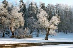 l'hiver hoarfrosted d'arbres de matin Image libre de droits