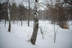 L'hiver neige bouleaux Photos stock
