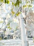 L'hiver tôt Le vert part sur un arbre couvert de neige Images stock