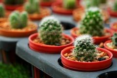 L'hobby che fa il giardinaggio con molti del cactus del germoglio nel giardino della scuola materna da vendere fa i soldi Fotografie Stock