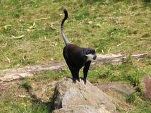 L ` Hoest ` s małpa, Cercopithecus lhoesti obrazy stock