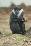 L'Hoest's monkey Royalty Free Stock Images