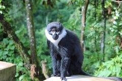L'Hoests monkey Rwanda. L'Hoests monkey watches traffic in Rwanda Royalty Free Stock Photography