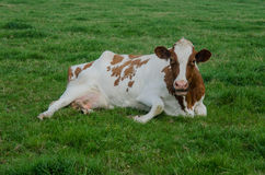 L'Holstein rosso in erba fotografia stock