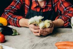 L'homme élève de petits poulets images stock