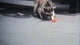 1971 : L'homme alimente à raton laveur d'animal familier une lucette en tant qu'interprète grifting de rue banque de vidéos