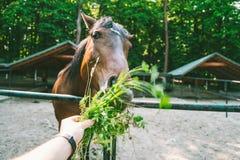 L'homme alimente le cheval, la première vue de personne Photographie stock
