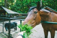 L'homme alimente le cheval, la première vue de personne Photos stock