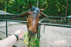 L'homme alimente le cheval, la première vue de personne Photo stock