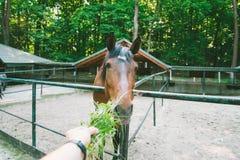 L'homme alimente le cheval, la première vue de personne Photographie stock libre de droits