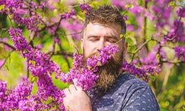 L'homme barbu avec la coupe de cheveux fraîche renifle la fleur de l'arbre de judas Concept de tranquilité Homme avec la barbe et photographie stock libre de droits