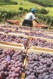 L'homme conduit un tracteur avec les boîtes en bois avec des raisins Image stock