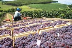 L'homme conduit un tracteur avec les boîtes en bois avec des raisins Photo stock