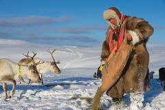 L'homme de Saami alimente des rennes en hiver profond de neige, région de Tromso, Norvège du nord Images libres de droits