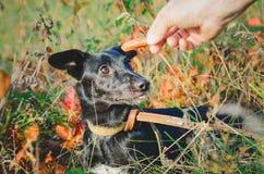 L'homme donne la nourriture à un chien métis photos stock