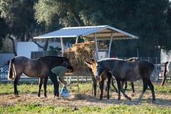 L'homme donne la nourriture pour des chevaux Photographie stock