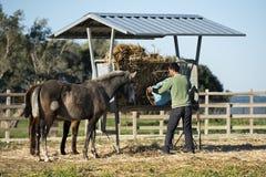 L'homme donne la nourriture pour des chevaux Photo libre de droits