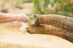 L'homme donnent la nourriture pour l'éléphant Photographie stock