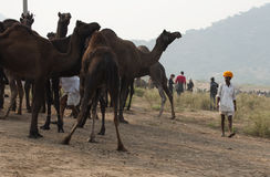 L'homme et les chameaux Images stock