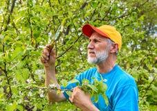 L'homme examine une branche d'un pommier à la recherche des parasites Images libres de droits