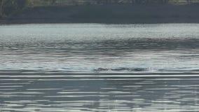 L'homme folâtre nage la brasse dans un lac au coucher du soleil dans le ralenti banque de vidéos