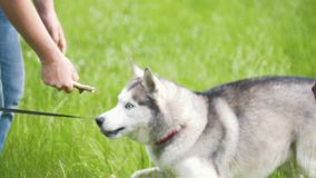 L'homme joue avec le costaud en parc - amis jouant avec des animaux familiers banque de vidéos