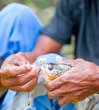 L'homme local montre le piranha pêché dans au Brésil Photo libre de droits