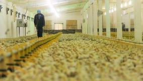 L'homme marche le long de l'incubateur avec la foule mignonne de poulets banque de vidéos
