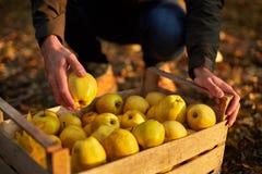 L'homme met la pomme d'or mûre jaune dans une boîte en bois de jaune à la ferme de verger Cultivateur moissonnant dans le jardin  Photo stock
