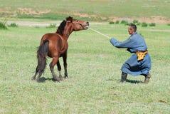 L'homme mongol apprivoise le jeune cheval sauvage dans une steppe vers Kharkhorin, Mongolie photographie stock libre de droits