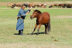 L'homme mongol utilisant le costume traditionnel apprivoise le jeune cheval sauvage dans une steppe vers Kharkhorin, Mongolie photographie stock