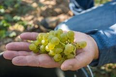 L'homme montre le ller-Thurgau de ¼ de MÃ à la récolte de raisin photographie stock