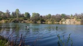 L'homme nage dans le lac banque de vidéos