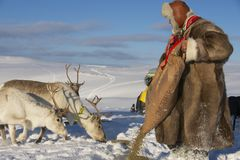 L'homme non identifié de Saami alimente des rennes en états d'hiver rude, région de Tromso, Norvège du nord Image stock