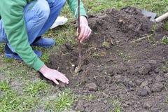L'homme plante un arbre sur le jardin Images libres de droits