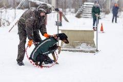 l'homme qui forme l'hiver de dobermann Photographie stock libre de droits