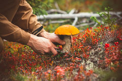 L'homme remet à champignon de cueillette le boletus orange de chapeau Photographie stock