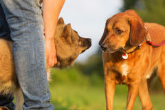 L'homme se tient sur son chiot d'elo quand un chien adulte vient image libre de droits