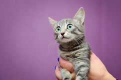L'homme tient un chaton gris mignon photographie stock libre de droits