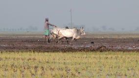 L'homme travaille au gisement de riz dans Jessore, Bangladesh banque de vidéos