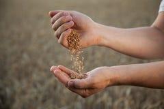 L'homme verse le blé de corps à corps sur le fond du fie de blé Photo libre de droits