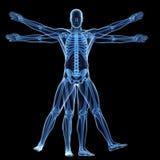 L'homme vitruvian - squelette Photos libres de droits