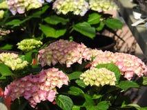 L'hortensia blanc et rose fleurit cet amour la nuance Image libre de droits
